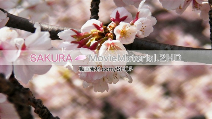 SAKURA MovieMaterial.2HD ハイビジョン桜舞うCG動画素材と桜実写映像素材集3
