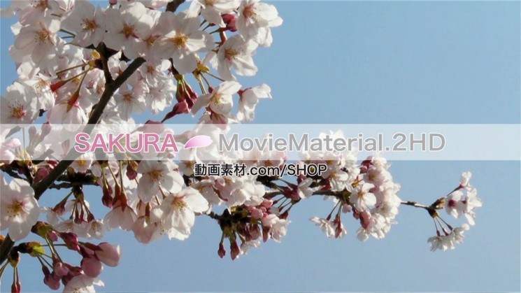 SAKURA MovieMaterial.2HD ハイビジョン桜舞うCG動画素材と桜実写映像素材集4
