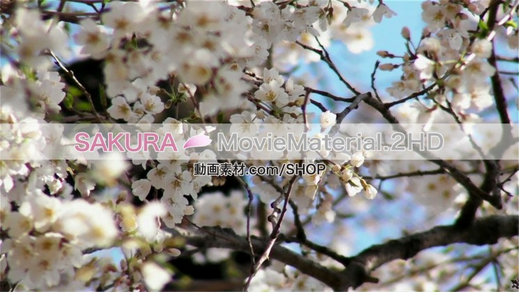 SAKURA MovieMaterial.2HD ハイビジョン桜舞うCG動画素材と桜実写映像素材集6