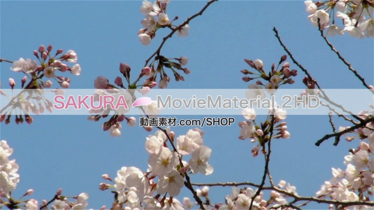 SAKURA MovieMaterial.2HD ハイビジョン桜舞うCG動画素材と桜実写映像素材集7