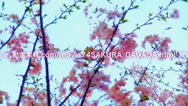 動画素材桜の下をダダダダダ01