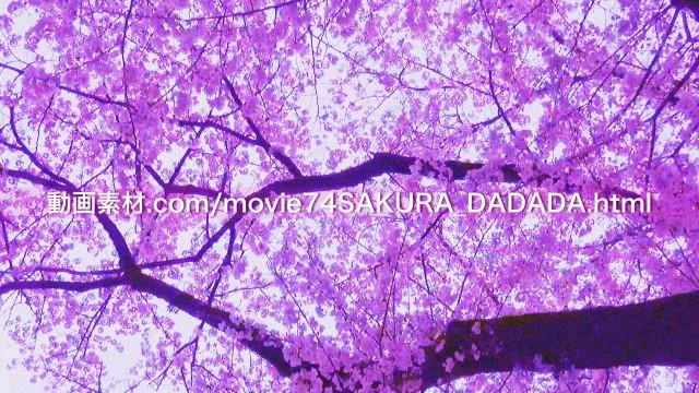 動画素材桜の下をダダダダダ02