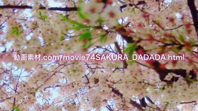 動画素材桜の下をダダダダダ03