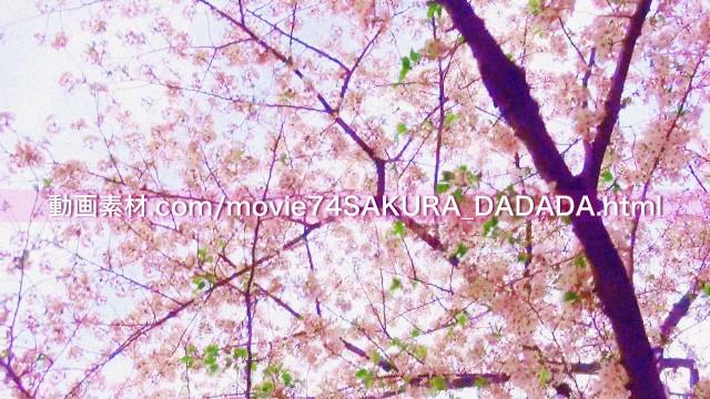 動画素材桜の下をダダダダダ04