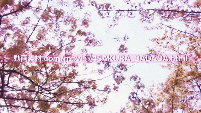 動画素材桜の下をダダダダダ05