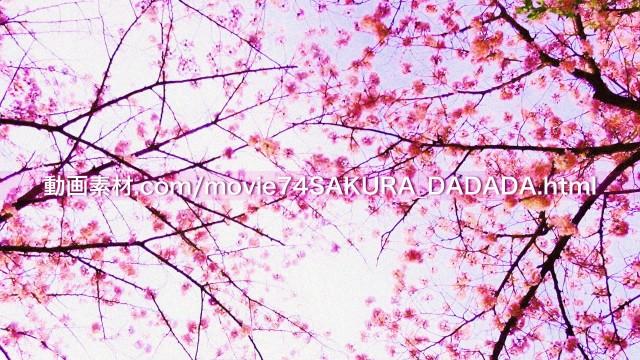 動画素材桜の下をダダダダダ06