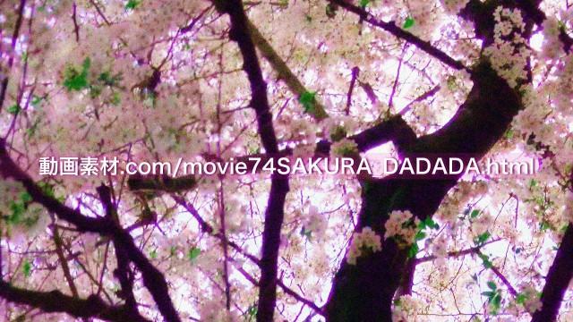 動画素材桜の下をダダダダダ07