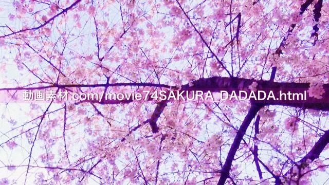 動画素材桜の下をダダダダダ09