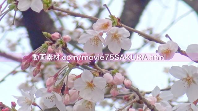 さくら動画素材75-1