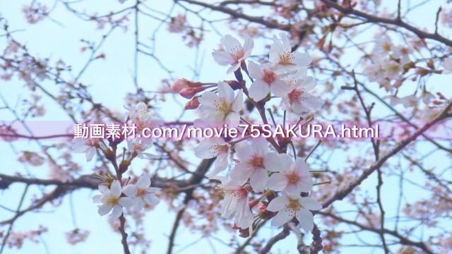 さくら動画素材75-3
