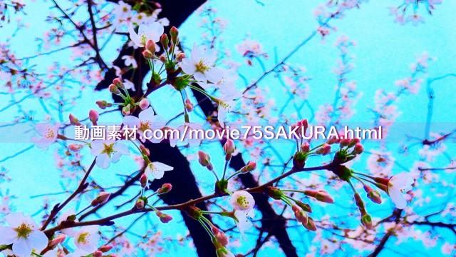 さくら動画素材75-4