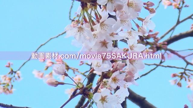 さくら動画素材75-9