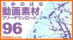 実写素材 梅の花【フリー動画素材10本追加】