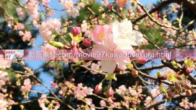 kawadusakura02