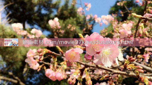 kawadusakura03