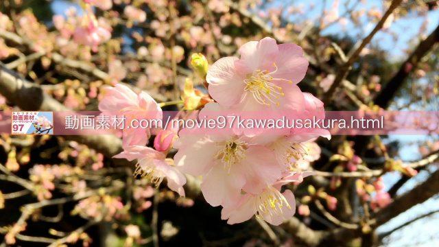 kawadusakura04