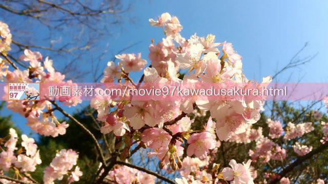 kawadusakura06