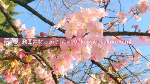 kawadusakura08