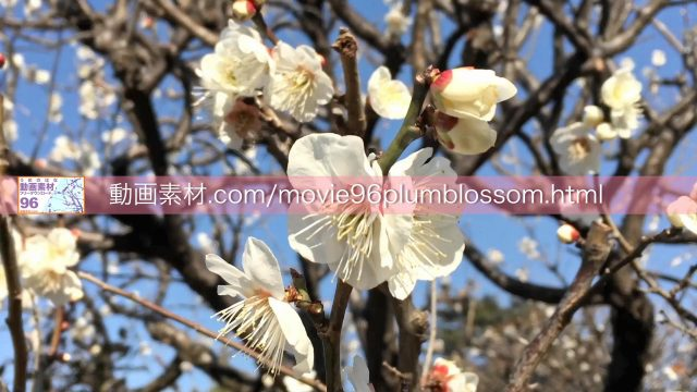 plumblossom01