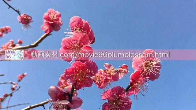 plumblossom02