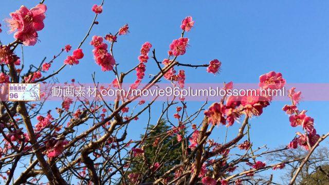 plumblossom03