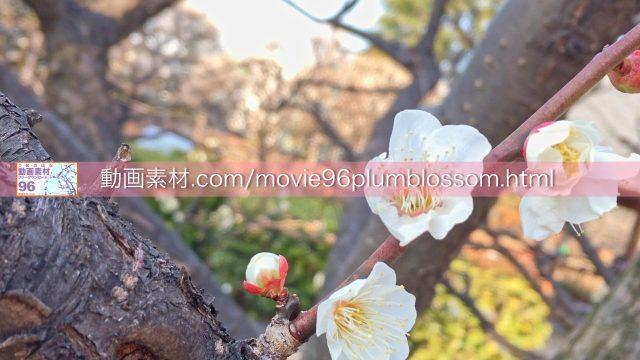plumblossom04
