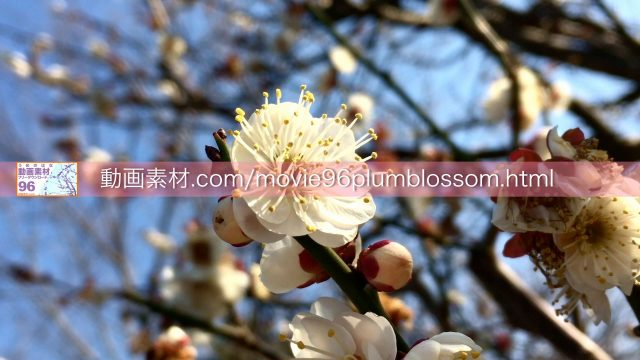 plumblossom05