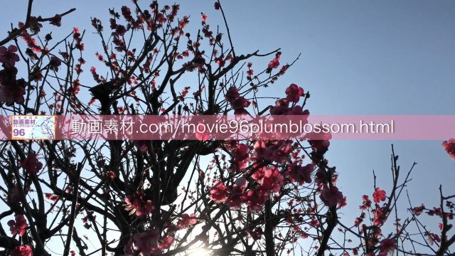 plumblossom07