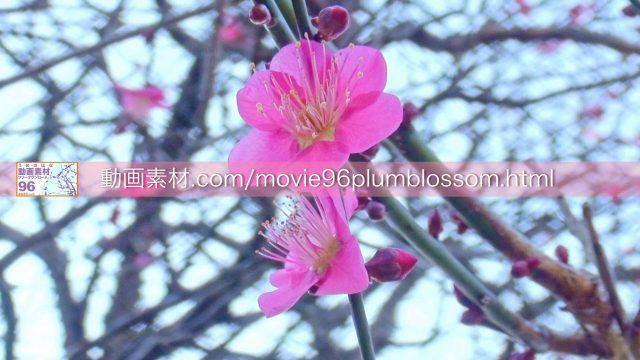 plumblossom08