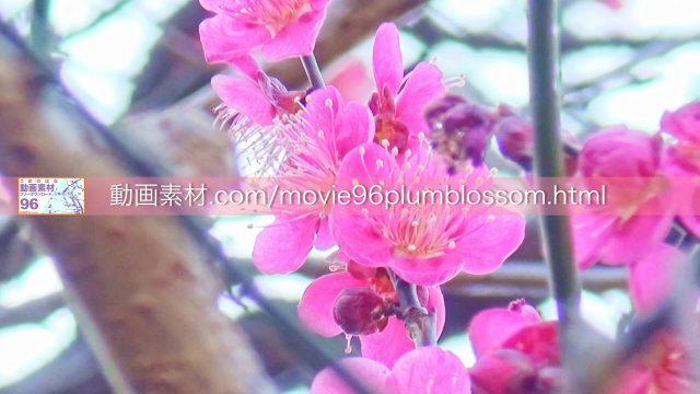 plumblossom09