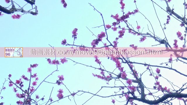 plumblossom10