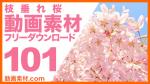実写素材 枝垂れ桜【フリー動画素材10本追加】