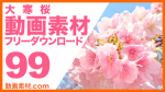 実写素材 大寒桜【フリー動画素材10本追加】